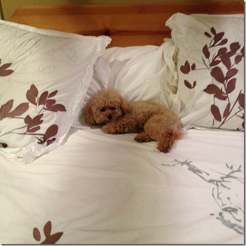 the poodle in bed
