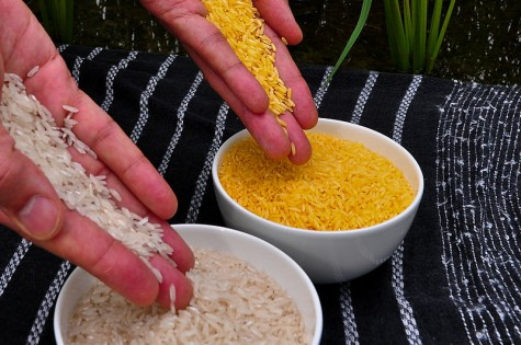 Golden rice is GMO