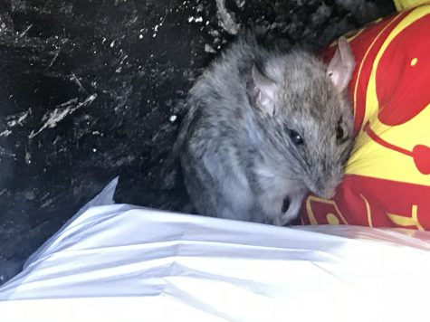 A rat in a trash can from the rat zapper